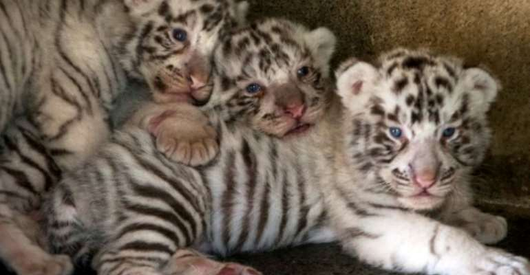 White tigers, such as these pictured in Mexico, owe their appearance to a recessive gene.  By Julio Cesar AGUILAR (AFP/File)