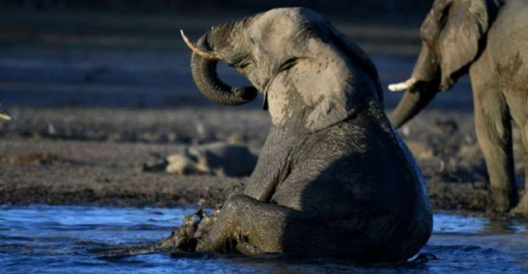 With unfenced parks and wide-open spaces, Botswana has Africa's largest elephant population with more than 135,000.  By MONIRUL BHUIYAN (AFP)