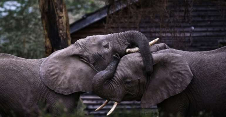 Young elephant bulls tussle on World Elephant Day in Kenya; meanwhile Zimbabwe is investigating the deaths of 12 elephants.  By TONY KARUMBA (AFP)