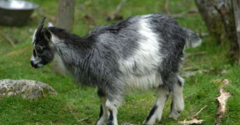 Goat Thief Breaks Record