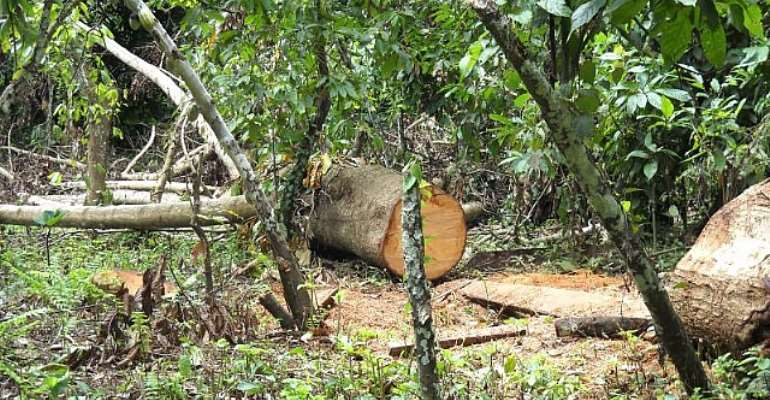 Cocoa farms leased for logging