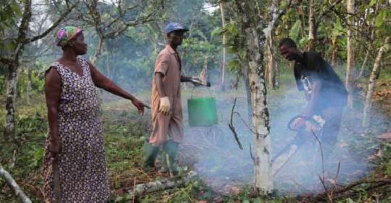Cocoa farms rehabilitation programme progresses