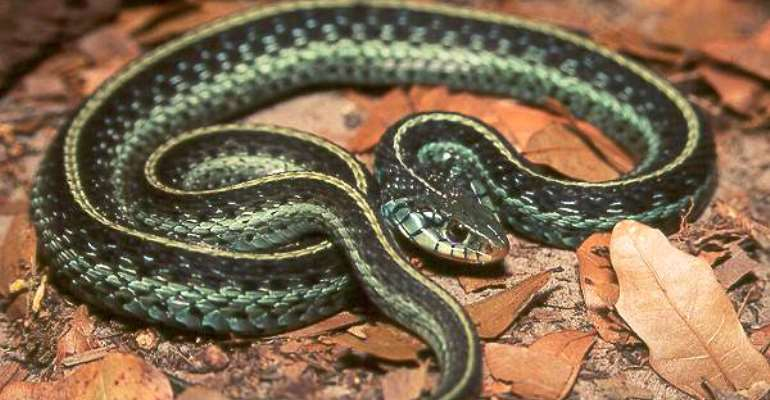 Snake scatters worshippers, bits Choir master Pastor