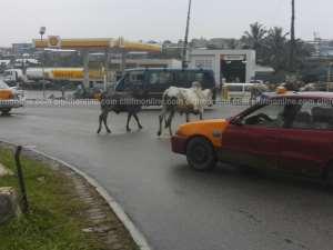 Stray Animals Invade Major Streets Of Kumasi