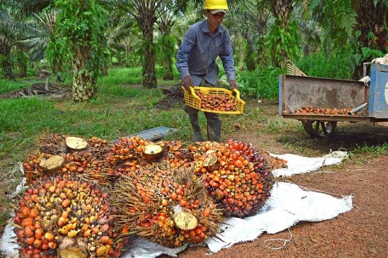 1213201965535-m5htk8v331-palm-oil 2