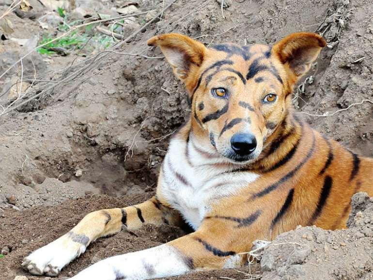 124201950632-typbsferqm-tiger-dog3
