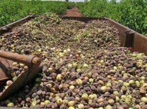 Jatropha harvest in Ghana