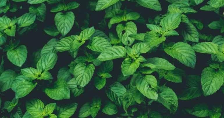 2282020121404-1h830n4ayt-mint-leaves