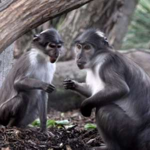 Zoo Theft Attempt Foiled When Monkeys Fight Back