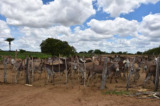 Brazil Penned In Donkeys. Credit - The Donkey Sanctuary