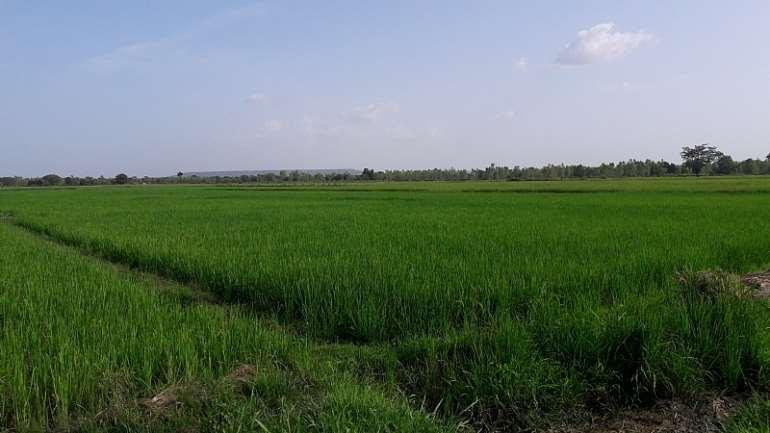 8132019121037-0f72ylkxws-farm-rice-2