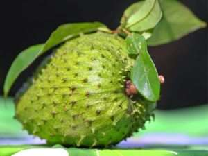 Fresh harvest soursop fruit with leaves.