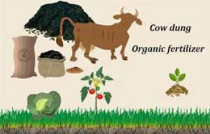 cow dung fertilizer