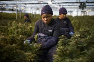 The global market for medical cannabis is currently estimated at $150 billion (135 billion euros) and could reach $272 billion in 2028, according to Barclays Bank.  By GUILLEM SARTORIO (AFP)