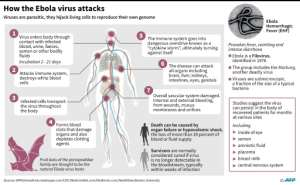 The Ebola virus is highly contagious and has an average fatality rate of around 50 percent.  By  (AFP/File)