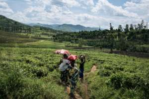 The far horizon: Reviving the tea plantation would create jobs, helping to address the region's chronic security problems. By ALEXIS HUGUET (AFP)