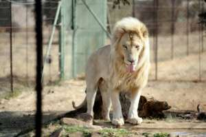 The lion breeding industry has warned that thousands of jobs would be lost if South Africa's parliament ends their commerical operation.  By STEPHANE DE SAKUTIN (AFP)
