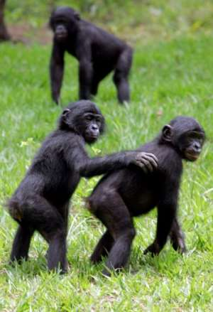 The main threat to chimp and large mammals in general is habitat loss.  By Issouf SANOGO (AFP/File)