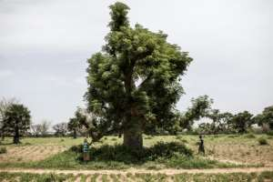 The might baobab is a national symbol of Senegal, where locals have long prized the tree's many uses.  By JOHN WESSELS (AFP)