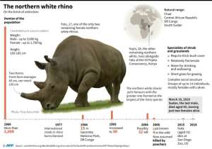 The northern white rhino is on the brink of extinction.  By Gal ROMA (AFP)