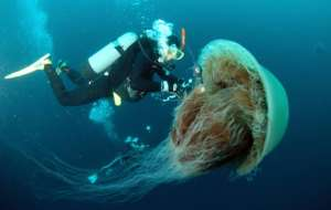 The sheer size of some jellyfish can be a threat to fishermen if they caught in their nets.  By YOMIURI SHIMBUN (YOMIURI SHIMBUN FILES/AFP)