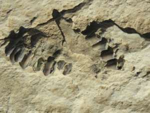 This handout photo shows animal fossils eroding out of the surface of the Alathar ancient lake deposit.  By Badar ZAHRANI (Badar ZAHRANI/AFP)