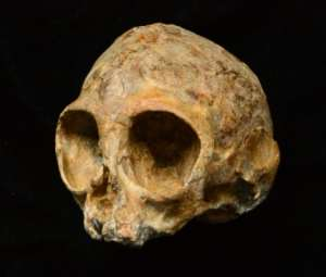 This picture received from the Leakey Foundation via the Nature website on August 9, 2017 shows an infant ape cranium named as