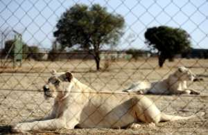 Trophy hunting of lions bred in captivity is a $36-million industry in South Africa.  By STEPHANE DE SAKUTIN (AFP)