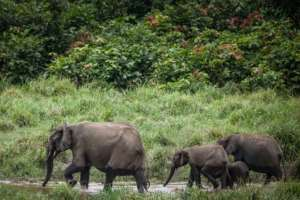 Trunk call: Forest elephants are one of the treasures in Gabon's national parks.  By Amaury HAUCHARD (AFP)