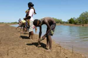 Volunteers replant dozens of mangrove propagules or shoots in a field near the village of Amboanio in the Melaky Region in Madagascar, part of a WWF programme to restore the mangroves..  By Laure FILLON (AFP)