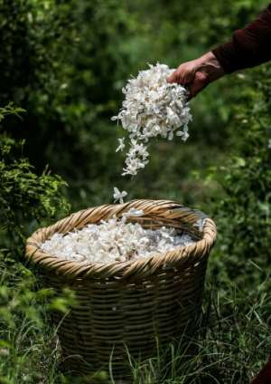 While as much as 20 tonnes of jasmine petals are harvested daily during the season in Egypt, the vast quantities are reduced to a few tonnes of paste each year, from which oil is then extracted.  By Mohamed el-Shahed (AFP)