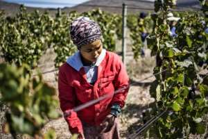Winegrowers in Hemel en Aarde say they were relatively unscathed from the devastation that hit their industry last year.  By MARCO LONGARI (AFP)