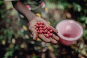 With its temperate climate, Idjwi produces coffee beans, as well as sweet potatoes and cassava.  By Luke DENNISON (AFP)
