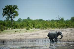 Zimbabwe has an elephant population of around 84,000 which is nearly double what it can cope with, according to the officials.  By MARTIN BUREAU (AFP/File)