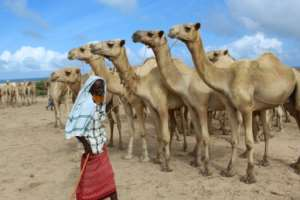 A man sells camels at El Hirka Dhere livestock market in Mogadishu, a day before the Muslim festival Eid Al-Adha, the feast of the sacrifice..  By STR (AFP)