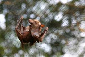 A new Ebola virus has been found in bats in Sierra Leone, like this one trapped to be examined for research in Gabon in June 2018, though it's still unknown if the new species can develop into the deadly Ebola disease.  By STEVE JORDAN (AFP/File)