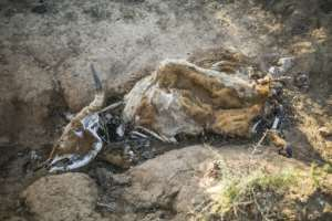 A carcass of a cow that died from starvation near Adelaide Dam.  By Guillem Sartorio (AFP)