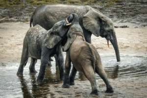 A forest elephant and her calves take a cooling bath in the mud.  By FLORENT VERGNES (AFP)