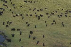 A herd of wild buffaloes roam a game reserve in the Chobe district of northern Botswana in September 2018.  By MONIRUL BHUIYAN (AFP/File)