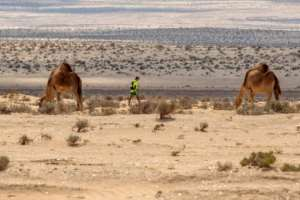 A participant walks between two camels during the Ultra Mirage El Djerid marathon in Tunisia's southwestern desert on October 7, 2017