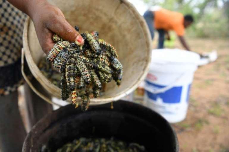 A regional drought has decimated the mopane population. By Monirul Bhuiyan (AFP)