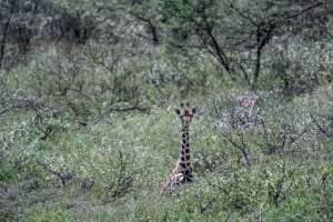 A Rothschild subspecies of giraffe on Lake Baringo faces the threat of rising lake waters.  By TONY KARUMBA (AFP)