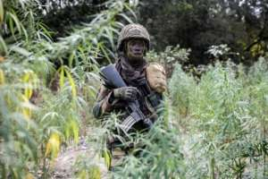 A Senegalese soldier walks through a field of cannabis seized from rebel fighters.  By JOHN WESSELS (AFP)