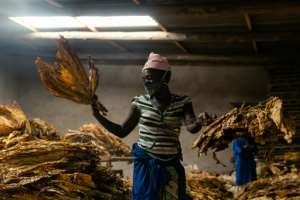 A woman grades cured tobacco leaves at a farm in Zimbabwe, where growers fear this seasons's sales will be hit by the pandemic.  By Jekesai NJIKIZANA (AFP)