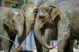 Asian elephants on June 25, 2019 in Berlin keep their cool.  By Tobias SCHWARZ (AFP/File)
