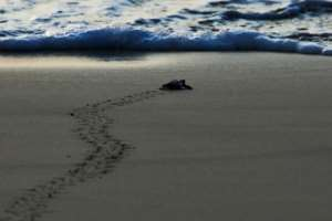 Baby sea turtles are their most vulnerable when they first hatch and make the run for the sea.  By CHAIDEER MAHYUDDIN (AFP/File)
