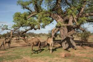 Camels tuck into fresh baobab leaves in Barkedji. The animals have been herded in by Mauritanians, who head south into Senegal at this time because the rains there come earlier than at home.  By JOHN WESSELS (AFP)