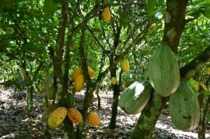 Cocoa is a fragile and perishable commodity, complicating storage.  By Issouf SANOGO (AFP/File)