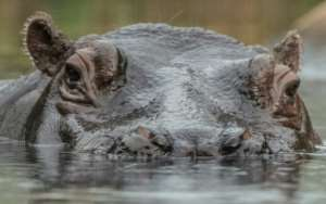 Cull: Zambia plans to slaughter 2,000 hippopotamuses.  By Paul Zinken (dpa/AFP)