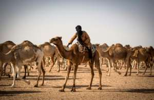 Dlimi follows GPS coordinates across the desert in a 4X4 vehicle to reach his camel herd.  By FADEL SENNA (AFP)